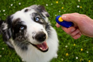 Australian Shepherd Clicker-training ault dog